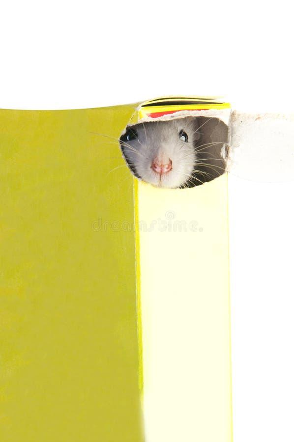 Ratto divertente in scatola fotografia stock libera da diritti