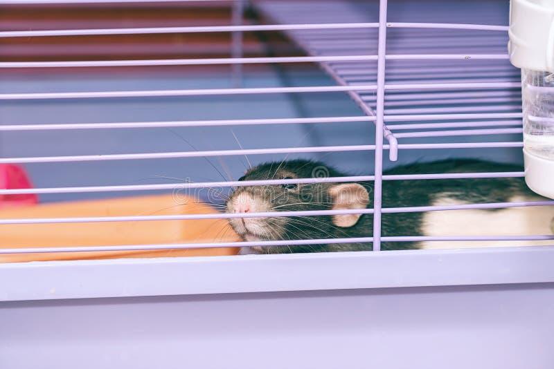 Ratto domestico con i baffi che si siedono nella gabbia fotografie stock libere da diritti