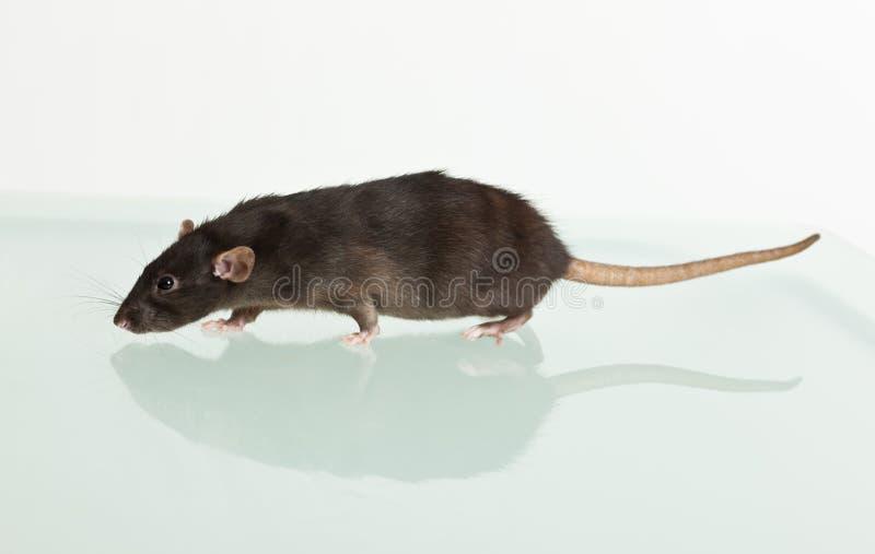 Ratto e la sua riflessione immagine stock libera da diritti
