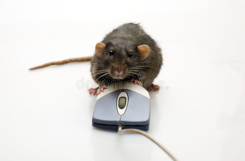 Ratto e un mouse immagine stock