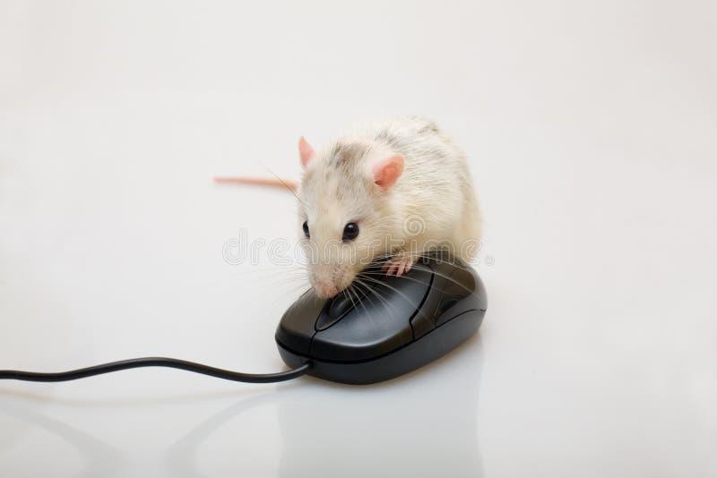 Ratto e un mouse immagine stock libera da diritti