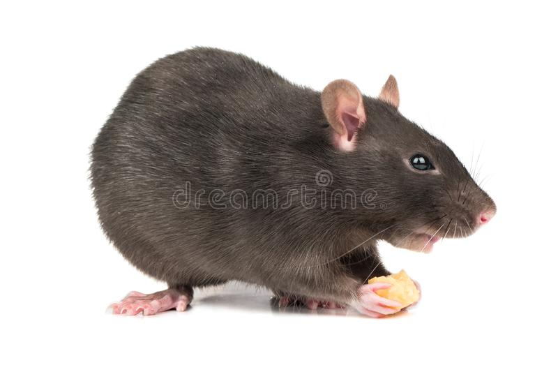 Ratto grigio con formaggio immagini stock