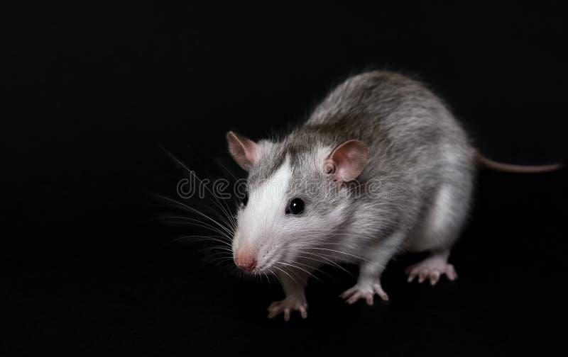 Ratto grigio giovane isolato sullo sfondo nero Rodent Pets Ratto domestico chiuso Il topo sta guardando la macchina fotografica fotografie stock
