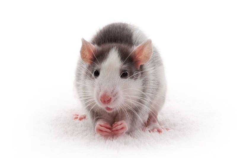 Ratto grigio nazionale sveglio fotografia stock libera da diritti