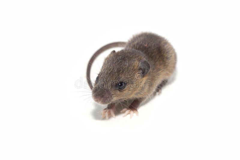 Ratto isolato su fondo bianco fotografia stock