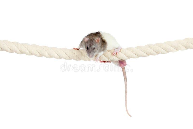 Ratto nazionale che scala dalla corda isolata su bianco immagine stock