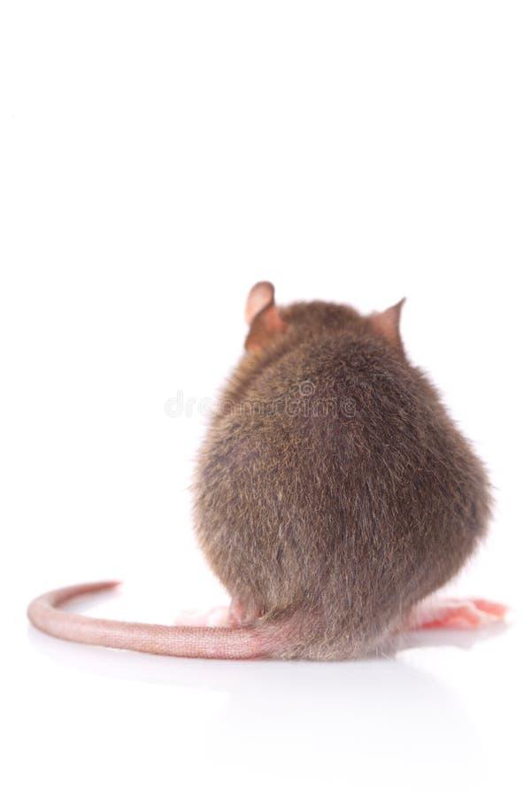 Ratto sparato da dietro fotografia stock libera da diritti