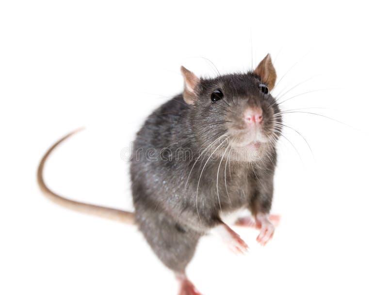 Ratto sveglio fotografia stock