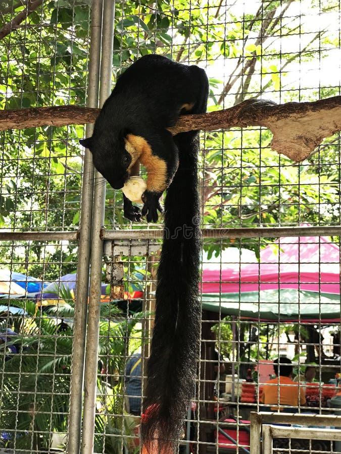Ratufa bicolor or Black giant squirrel or Malayan giant squirrel. Ratufa bicolor or Black giant squirrel or Malayan giant squirrel in Thailand stock photo