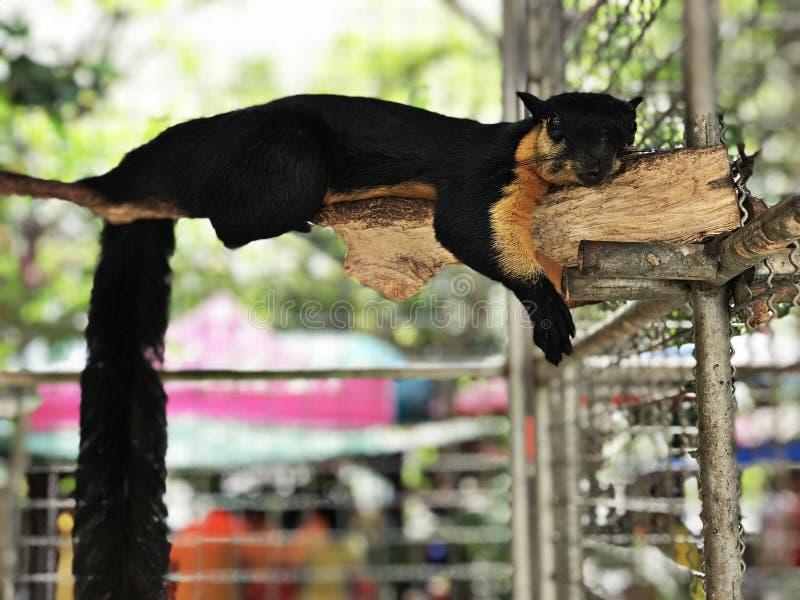 Ratufa bicolor or Black giant squirrel or Malayan giant squirrel. Ratufa bicolor or Black giant squirrel or Malayan giant squirrel in Thailand royalty free stock photo