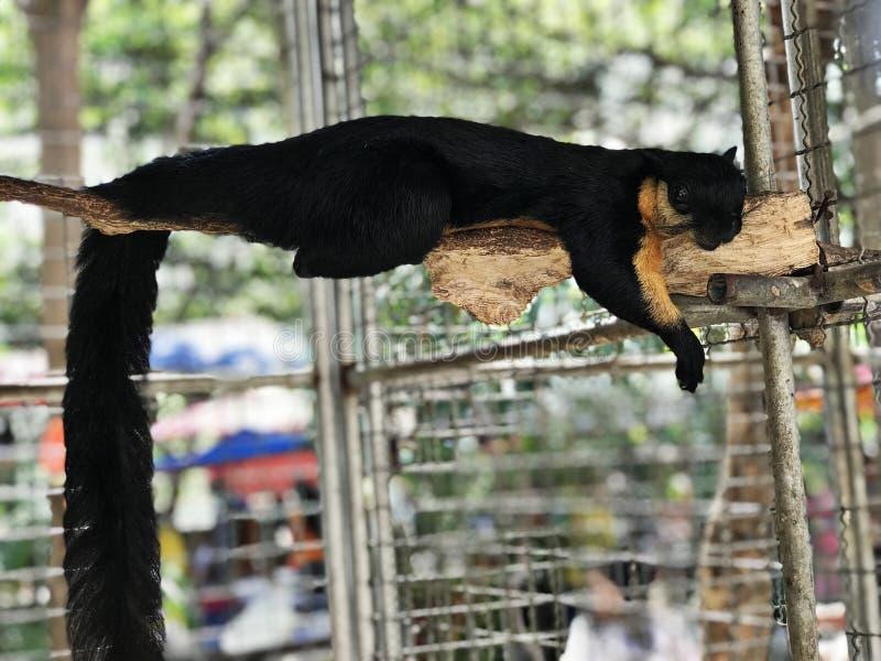 Ratufa bicolor or Black giant squirrel or Malayan giant squirrel. Ratufa bicolor or Black giant squirrel or Malayan giant squirrel in Thailand stock image