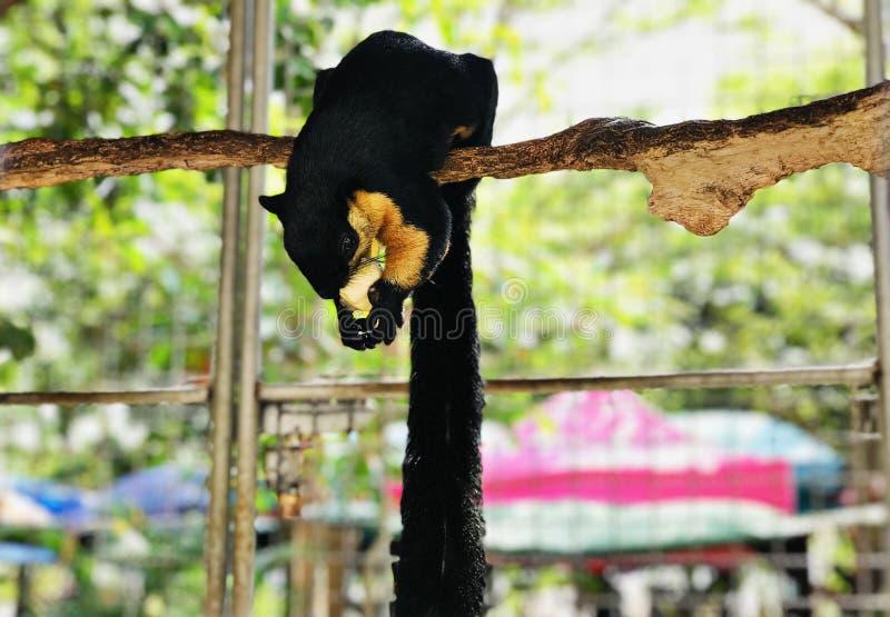 Ratufa bicolor or Black giant squirrel or Malayan giant squirrel. Ratufa bicolor or Black giant squirrel or Malayan giant squirrel in Thailand stock photos