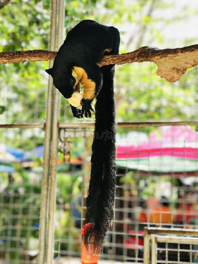 Ratufa bicolor or Black giant squirrel or Malayan giant squirrel. Ratufa bicolor or Black giant squirrel or Malayan giant squirrel in Thailand stock photography