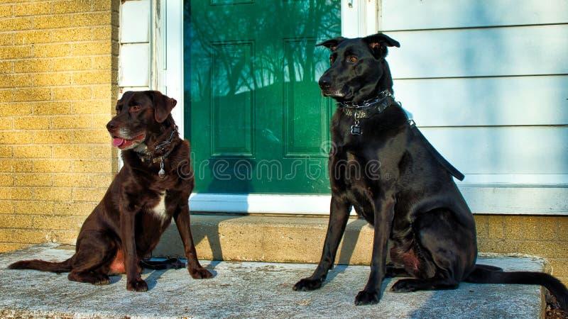 Ratunek jest prześladowanym najlepszych przyjaciół siedzi na ganku frontowym - czekoladowy lab i czarna pasterska mieszanka - obrazy stock