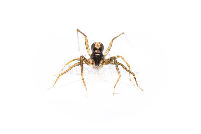 Raubspinne jumpingb TierVorderansichtmakro nahaufnahme stockfotos
