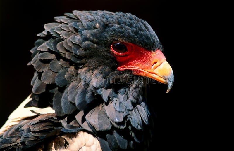 Raubvogel stockbild