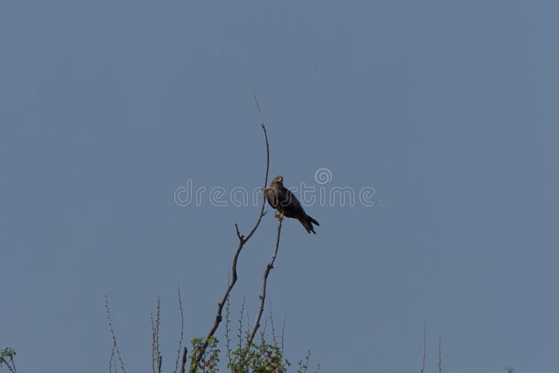 Raubvogel die Kontur aufpassend, auf ein Opfer zu warten lizenzfreies stockbild