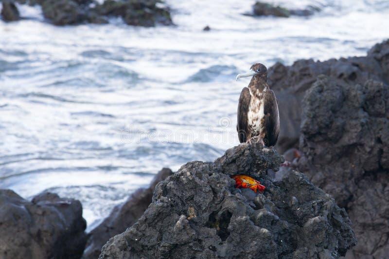 Raubvogel gehockt über Krabbe stockfotografie