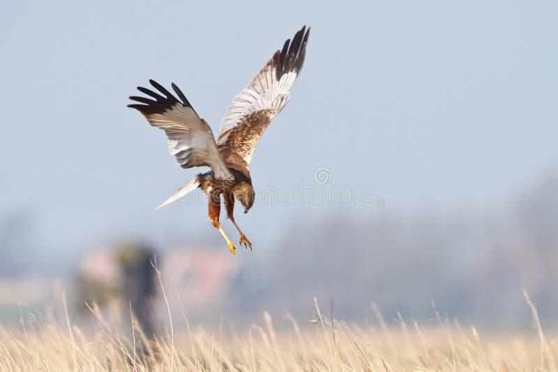 Raubvogel im Flug lizenzfreie stockfotos