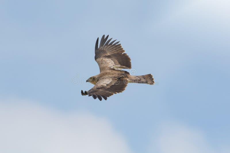 Raubvogel im Flug, Kurz-ausgewichener Schlangenadler stockfotografie