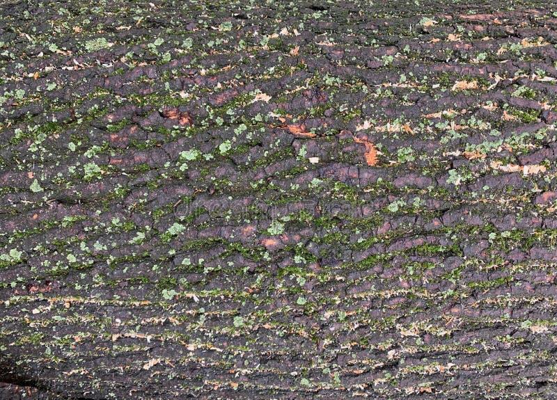 Raue Barke eines grauen Baums stock abbildung