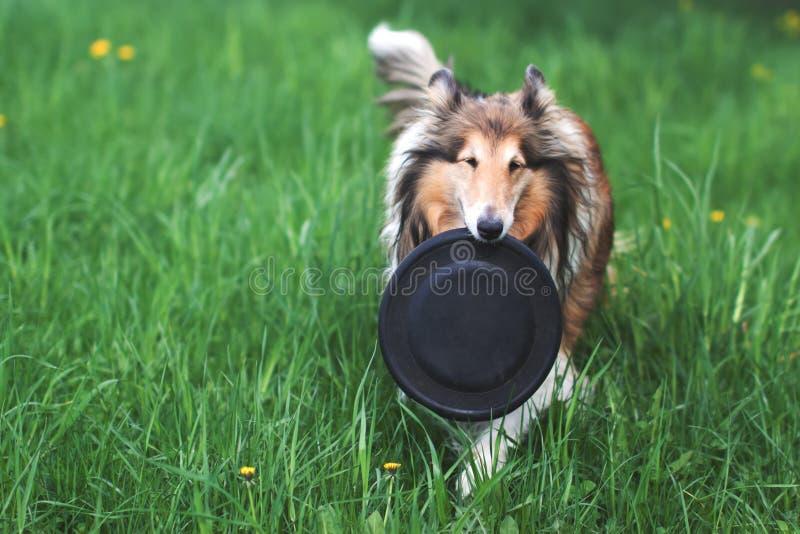 Rauer Colliehund, der mit Frisbee spielt lizenzfreie stockbilder