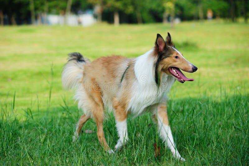 Rauer Hund des Collien lizenzfreies stockbild