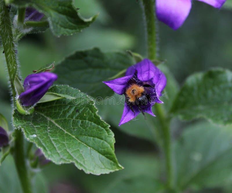Rauhaarige Hummel vorgewählt von der Blume stockfoto