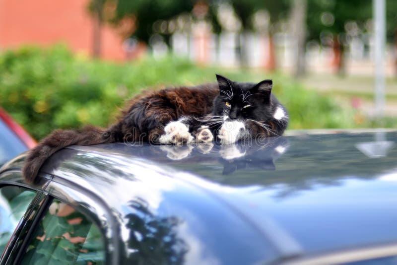 Rauhaarige Katze schläft auf dem Dach des Autos im Sommer lizenzfreies stockbild