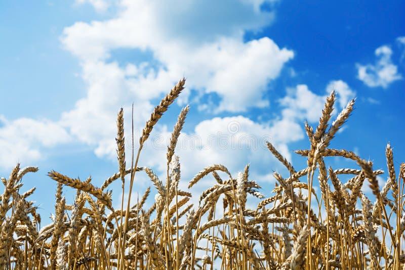 RAUM F?R BEDECKUNGSschlagzeile UND TEXT Feld des Weizens unter dem blauen Himmel lizenzfreies stockfoto
