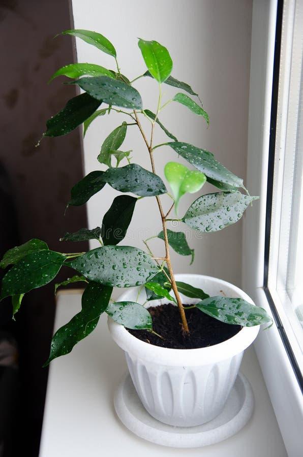 Raumblumen-Ficus benjamina lizenzfreie stockbilder