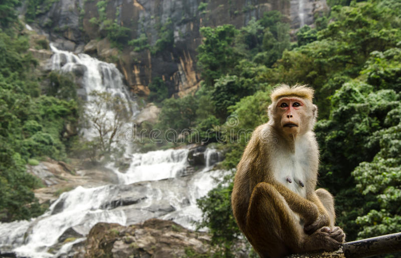 Ravana Ella Waterfall, Sri Lanka. Ravana Ella Waterfall with a toque macaque monkey in front, Sri Lanka stock image