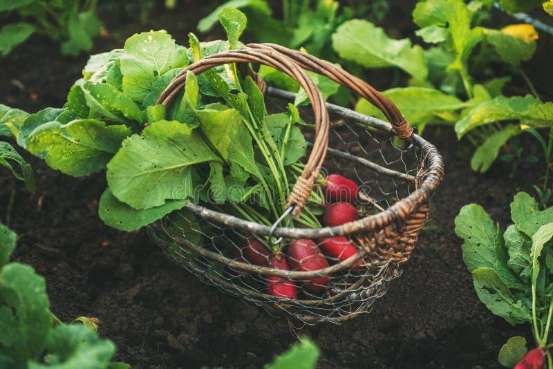 Ravanelli rossi freschi con le foglie in un canestro fotografia stock