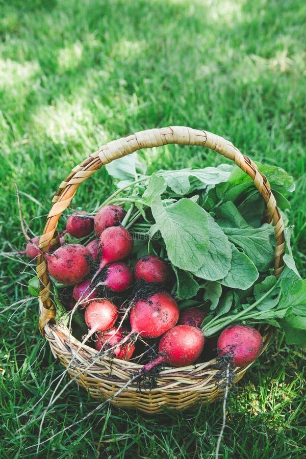 Ravanello appena raccolto Ravanelli organici bianchi rossi freschi con le foglie sul canestro fotografia stock libera da diritti