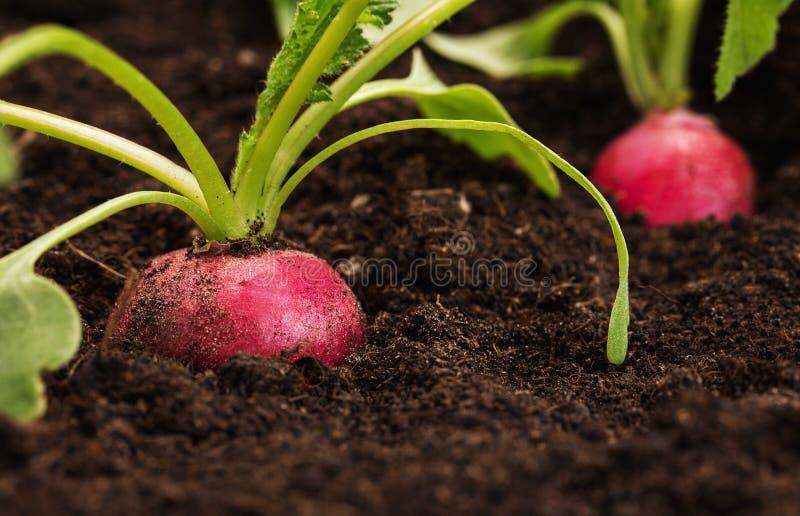 Ravanello organico e sano immagine stock