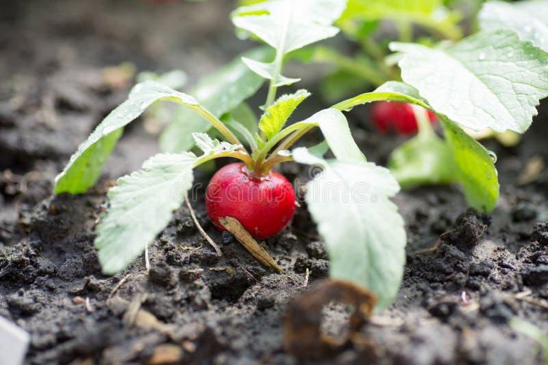 Ravanello rosso organico fresco con la crescita delle foglie immagini stock libere da diritti