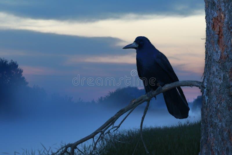 Raven photographie stock
