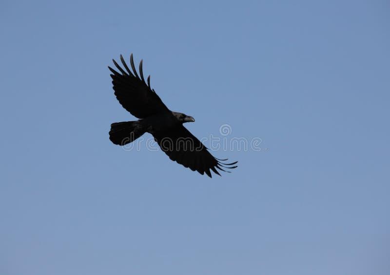 Download Raven stock image. Image of wilderness, flight, outdoors - 14457219