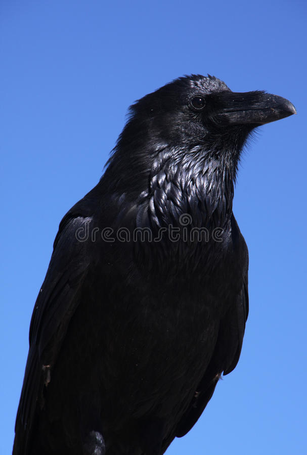 Download Raven stock image. Image of crow, look, animals, black - 16386409