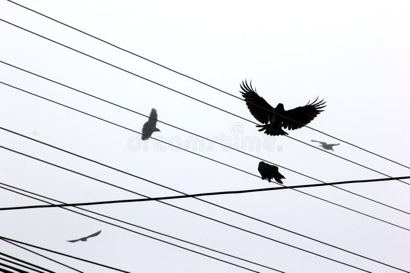 Raven stock afbeeldingen