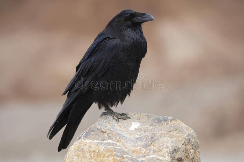 Raven stock photos
