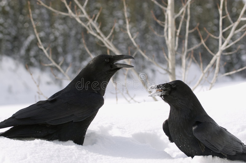 Raven. royalty free stock images