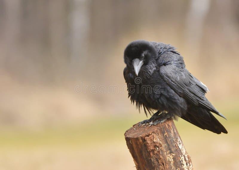 raven fotografia stock libera da diritti