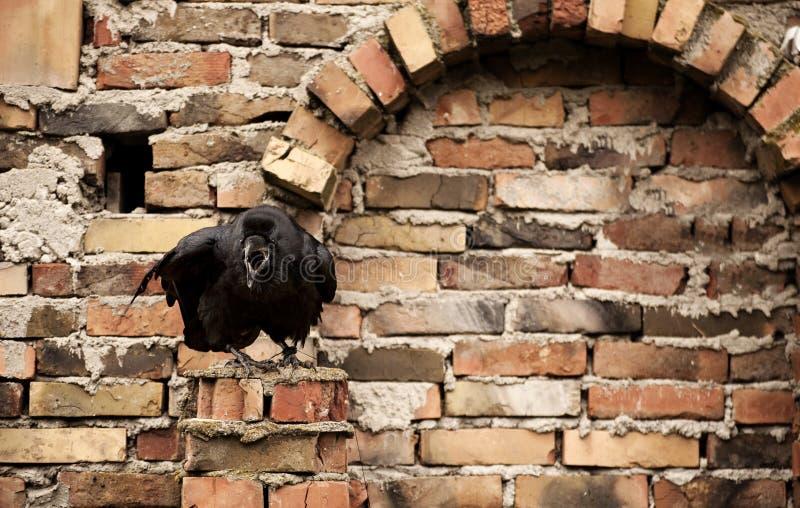 raven fotografia de stock royalty free