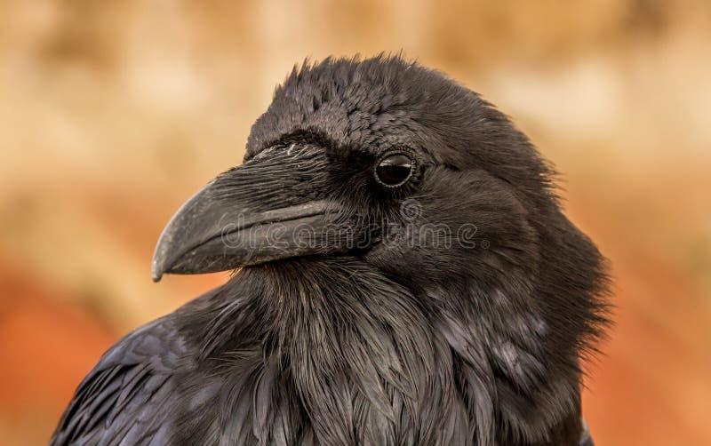 raven royalty-vrije stock fotografie