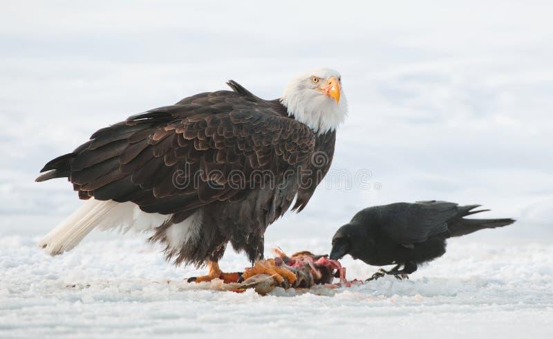 The Raven and Bald eagle. Haliaeetus leucocephalus sits on snow and eats a salmon fish royalty free stock photos