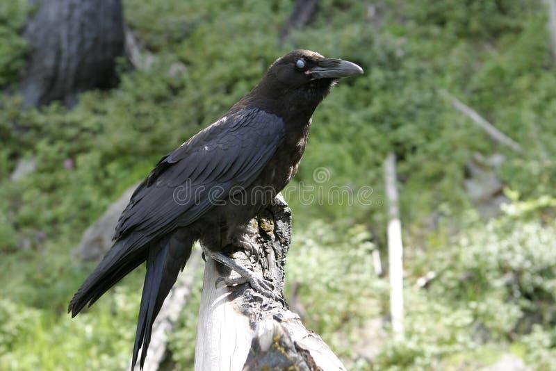 Raven With Blue Eye nera immagine stock libera da diritti
