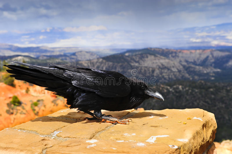 Raven Bryce Canyon royalty free stock photography