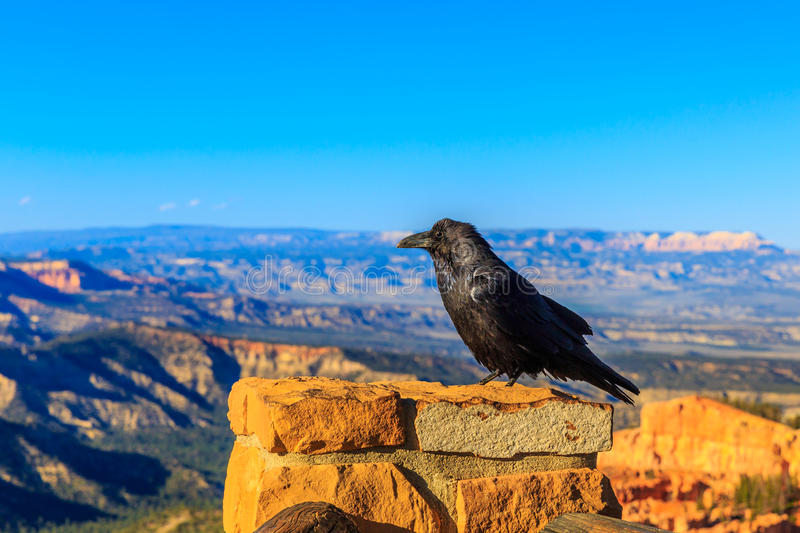 Raven at Bryce Canyon royalty free stock images