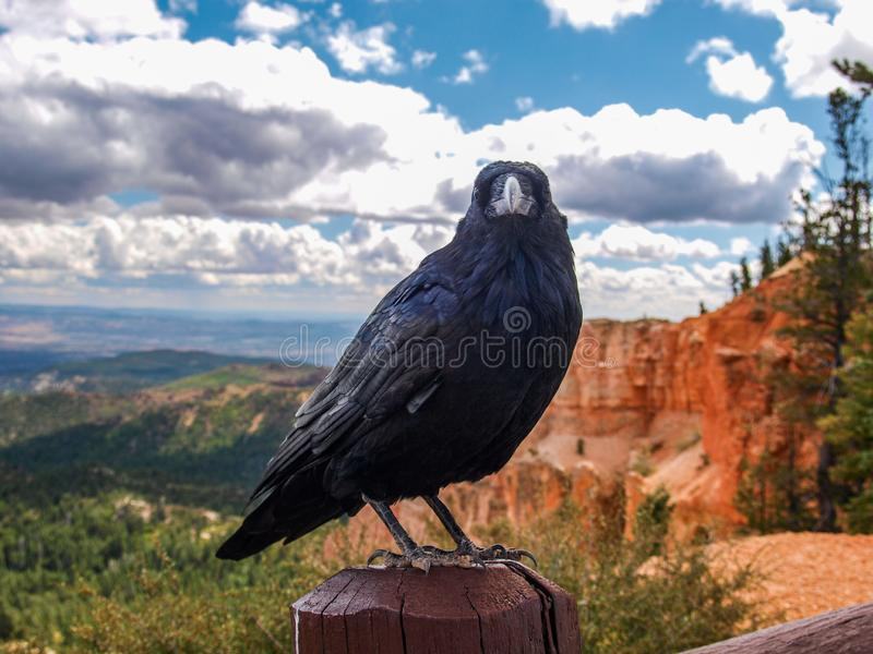Raven at Bryce Canyon National Park in Utah royalty free stock photos